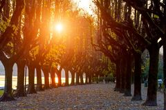 Italy, Angera.Wonderful autumn avenue for walking, large trees with yellow leaves. Silhouettes of trees in the rays of the setting Stock Photo