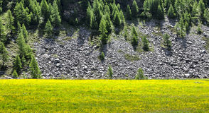 Italy (Ayas Valley) Yellow flowers Royalty Free Stock Photography