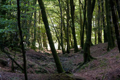 Italy Calabria Aspromonte - Old trees of beech -  The Aspromonte Royalty Free Stock Photography