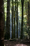 Italy Calabria Aspromonte - Old trees of beech -  The Aspromonte Royalty Free Stock Photo
