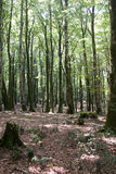 Italy Calabria Aspromonte - Old trees of beech - Royalty Free Stock Photography