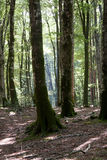 Italy Calabria Aspromonte - Old trees of beech - Stock Photo