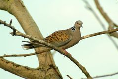 Italy, a common turtle dove on a branch Royalty Free Stock Photography