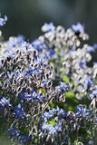 ITALY, countryside, borage plant Stock Images