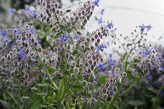 ITALY, countryside, borage plant Stock Image