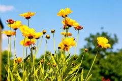 In italy dasy spring. Dasy in italy yellow flower field nature and spring royalty free stock image