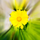 In italy dasy yellow blurred zoom. Dasy in italy yellow flower field nature and spring stock photos
