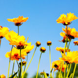 In italy dasy yellow flower field nature and spring. Dasy in italy yellow flower field nature and spring stock images