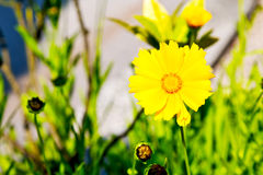 In italy dasy. Dasy in italy yellow flower field nature and spring stock photos