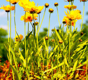 In italy dasy yellow flower field nature and spring. Dasy in italy yellow flower field nature and spring royalty free stock photography