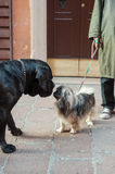 Italy, dogs sniffing Stock Images
