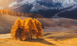 Italy. Dolomites. Autumn landscape with bright colors, house and larch trees in the soft sunlight. Royalty Free Stock Images