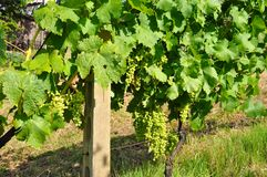 Italy  excellent Viognier grapes Stock Photography