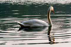 Italy green side of little white swan Royalty Free Stock Photos