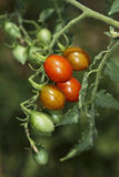 ITALY, italian small tomatoes Stock Images