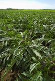 ITALY, Lazio, artichokes field Stock Photo