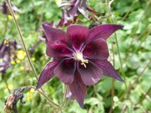 Wild columbine flower with purple blossom in the mountains of italy. Italy mountains columbine Flower wild plant Purple blossom nature Meadow forest royalty free stock photography