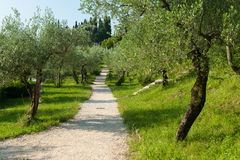 Italy olive grove Royalty Free Stock Photography