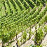 Italy - Piedmont region. Barbera vineyard Royalty Free Stock Photos