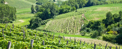 Italy - Piedmont region. Barbera vineyard Royalty Free Stock Images