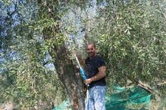 Harvesting olives Royalty Free Stock Photo