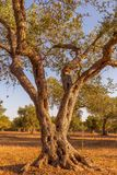 Olive tree in South Italy Royalty Free Stock Photography