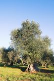 Italy, Puglia region, south of the country. Traditional plantation of olive trees stock image