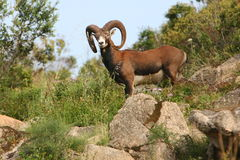 Italy Sardegna,  mouflon of the Gallura Stock Images