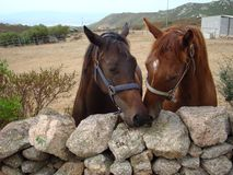 Italy, Sardinia couple of race horse Royalty Free Stock Photo