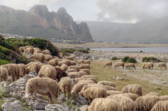 Italy, Sicily, Palermo. Grazing herd of sheep on the coast of Sicily, Italy Stock Photo