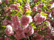 Italy  spring cherry blossom  flowers Royalty Free Stock Image