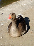 Italy,tourism,natur,bird,Grey goose Royalty Free Stock Image