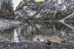 Braies lake in trentino Alto Adige country italy. In italy, trentino, there is a beautiful lake with ducks and animal and a lot of tree and beautiful nature royalty free stock photo