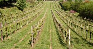 italy treviso vingård Arkivfoto