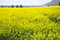 Italy Tuscany Castiglione della Pescaia Pian d`alma Punta Ala, view of a field of rapeseed in bloom. Tuscany Castiglione della Pescaia Pian d`alma Punta Ala stock photography