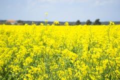 Italy Tuscany Castiglione della Pescaia Pian d`alma Punta Ala, view of a field of rapeseed in bloom. Tuscany Castiglione della Pescaia Pian d`alma Punta Ala stock photos