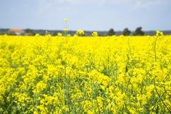 Italy Tuscany Castiglione della Pescaia Pian d`alma Punta Ala, view of a field of rapeseed in bloom. Tuscany Castiglione della Pescaia Pian d`alma Punta Ala royalty free stock images