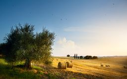 Italy. Tuscany farmland and olives tree; summer countryside Land Royalty Free Stock Image