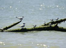Italy Tuscany Maremma, on the beach towards Mouth of Ombrone, sea birds rest on a tree trunk in the sea. Tuscany Maremma, on the beach towards Mouth of Ombrone royalty free stock photo