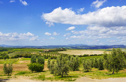 Italy. Tuscany. Olive plantations Royalty Free Stock Photo