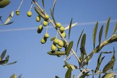 Italy, Tuscany, Olive tree Stock Image