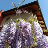 Italy  Tuscany summer wisteria bluesky Stock Images