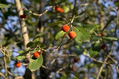 Italy, Tuscany, Val D`Orcia, San Quirico d`Orcia, Bagno Vignoni, arbutus tree. Ripe strawberry tree fruits Royalty Free Stock Photo