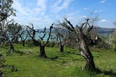 Italy, Umbria: Skeletal trees on the Trasimeno lake. Italy, Umbria: Skeletal trees on the Trasimeno lake to Montecolognola royalty free stock photos