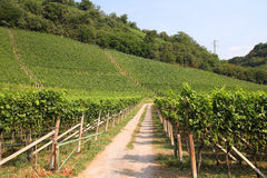 Italy vineyard Stock Images