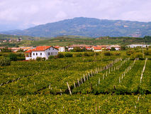 Italy vineyard landscape panoramic Stock Photography