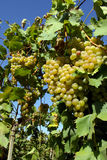 'Italy' - white grapes Royalty Free Stock Image