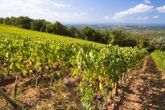 italy winnica Tuscany Obrazy Royalty Free