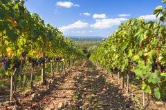 italy winnica Tuscany Fotografia Royalty Free