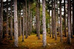 italy wyrównywać lasowe sosny Tuscany Obrazy Royalty Free